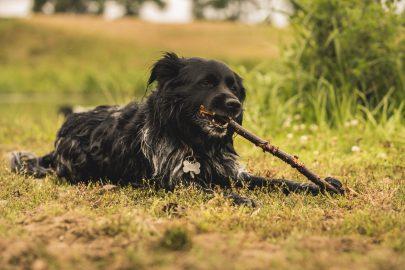 hond kauwt op stok
